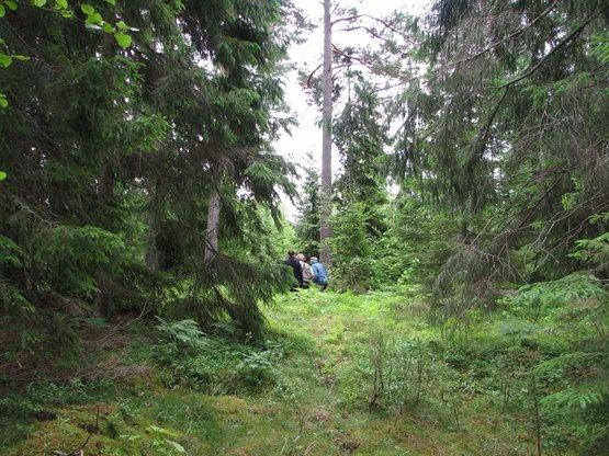 aldre_skog_roslagen_SO.JPG
